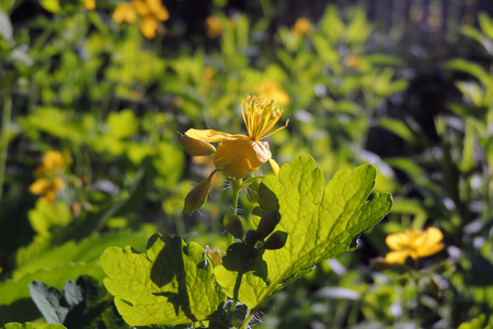 Medicinal herbs bright yellow flowers greater celandine chelidonium medicinal herbs bright yellow flowers greater celandine chelidonium majus stock photo 102684886 mightylinksfo