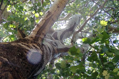 Treetops in a beech forest with a dead tree Standard-Bild