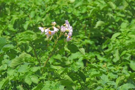 Young potato on soil cover. plant close-up Stock fotó