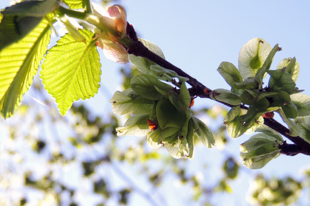Young chestnut tree leaves seen in early spring against a near clear blue sky. Stock Photo