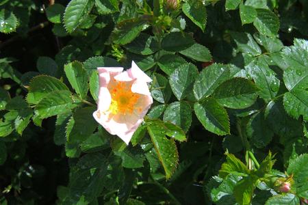 A classic burgundy rose, a lush rosebud in raindrops.