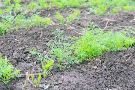 Dill in raindrops. Garden bed of young dill.