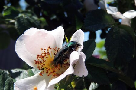 Golden and green rose beetle (rose chafer) in rose blossom 写真素材