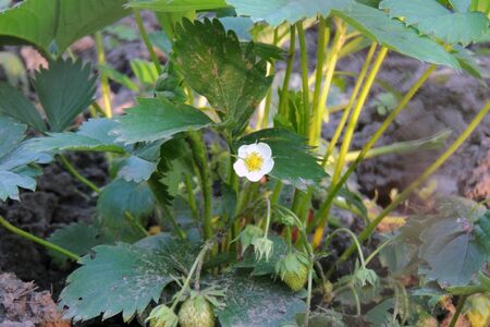several strawberry flowers on the stem
