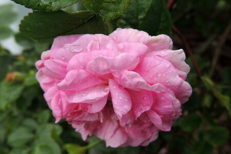 A classic burgundy rose, a lush rosebud in raindrops.
