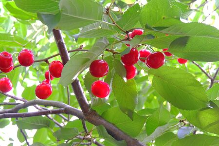 Branch with a rich yield of ripe cherries, fruit growing,