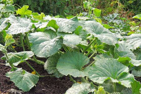 Young and fresh cucumber garden. garden of cucumbers in the garden Zdjęcie Seryjne
