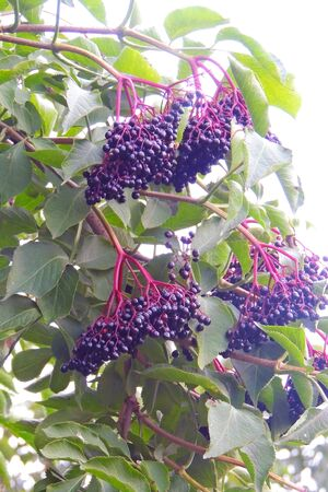 ripe elderberry on a branch grows in the forest