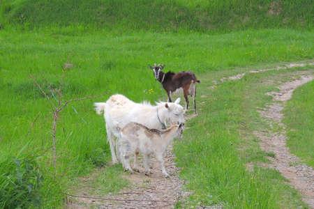Female white goat for milk production 写真素材