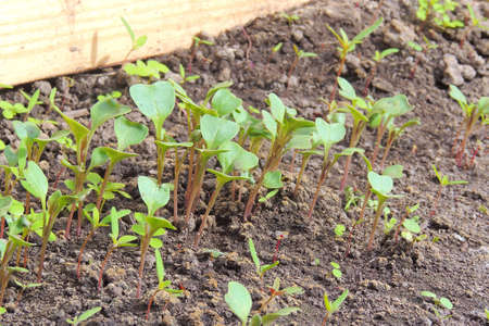 Organic farming, seedlings growing in greenhouse. Banque d'images