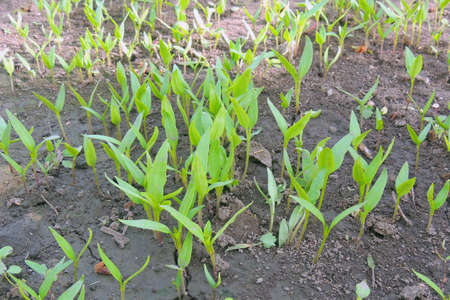 peppers seedlings grown in trays in blisters greenhouse