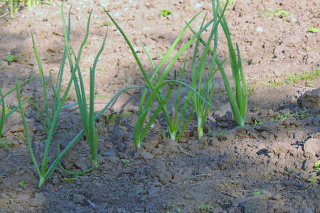 Green onion in the garden, vegetable in the ground ready for harvest Banque d'images