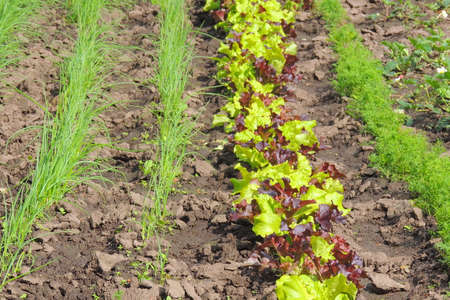 Rows of fresh lettuce plants in the countryside on a sunny day Banque d'images
