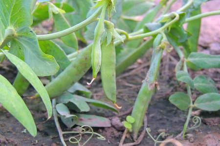 fresh green peas growing in home vegetable garden Banco de Imagens