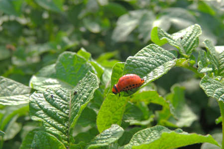 The Colorado bug was going to eat potato leaves Banco de Imagens