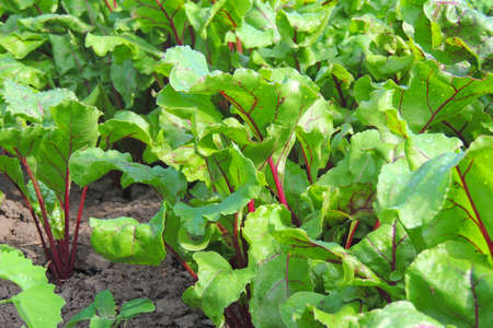 Leaf of beet root. Fresh green leaves of beetroot or beet root seedling. Row of green young beet leaves growth in organic farm. Closeup beetroot leaves growing on garden bed. Field of beetroot foliage Zdjęcie Seryjne