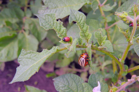 The Colorado bug was going to eat potato leaves