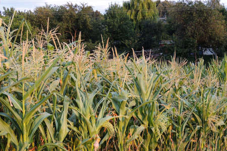 Corn growing on the stalk in a garden.