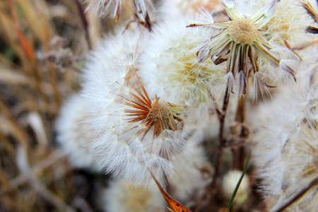 Field of dandelions, grass background, nature concept Reklamní fotografie