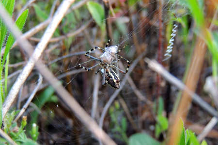 Orchard Orbweaver Spider on the web, photo taken in Taiwan Reklamní fotografie