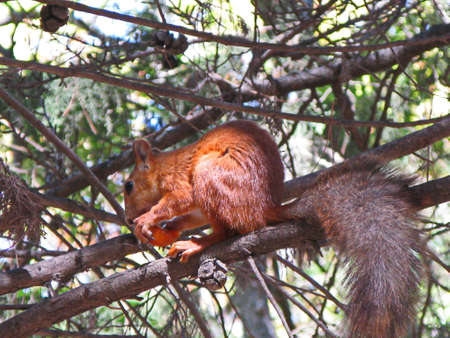 infield: A squirrel eats in-field. A squirrel in the wild wild sits on a branch