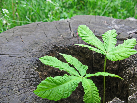 The life is going on sprout of chestnut tree grows through an old stub