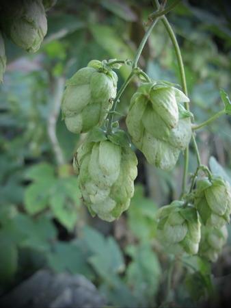 hopfield: ripened hop conesplant garden brewery  summer farming