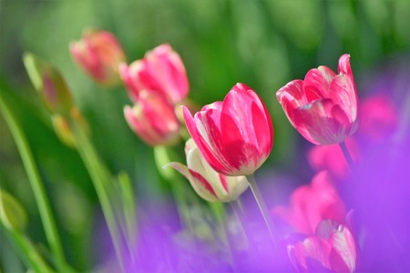 Beautiful garden flowers red Tulips With blurred background and purple spot
