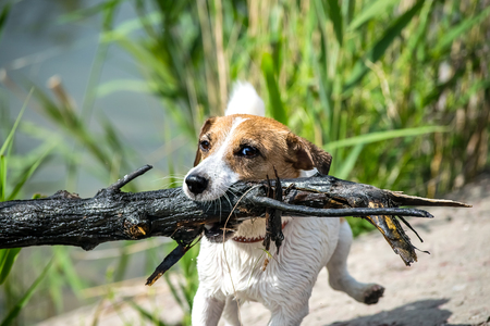 A frisky Jack Russell terrier running fast with a stick from a river Stock Photo