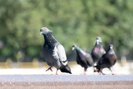 supercilious: Arrogant Pigeon bird walking on a fountain edge And the others look after him