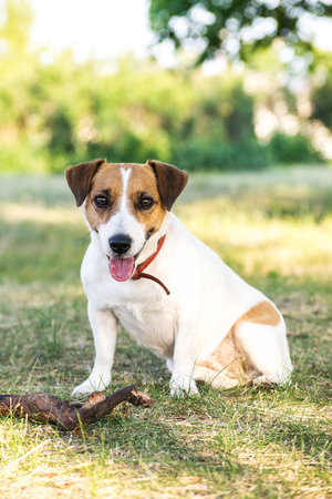 Jack Russell Terrier dog sitting with a wooden stick on grass in summer day Stock Photo
