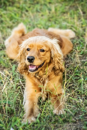 Portrait of a beautiful red dog purebred english cocker spaniel lying on grass at sunner day