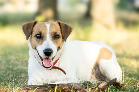 Jack Russell Terrier dog lying on the grass in a summer park. A dog looking at the camera