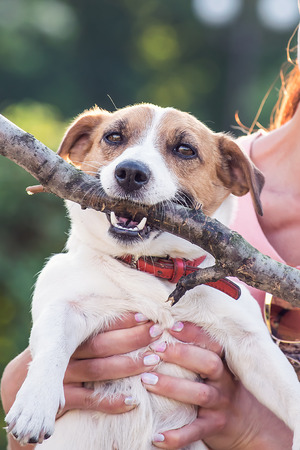 Jack Russell Terrier dog holding a wooden stick in the owner hands. A dog looking at the camera