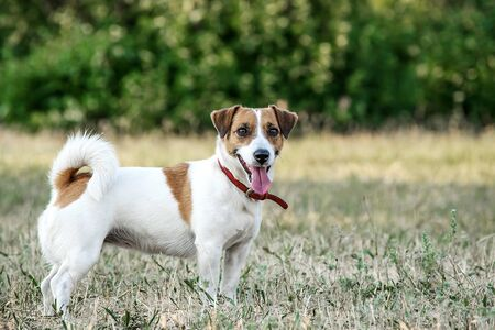 Jack Russell Terrier dog staying on the grass in a summer park. A dog looking at the camera Imagens