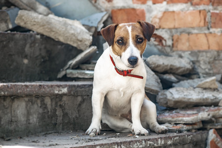 A dog Jack Russell Terrier sitting on the gray concrete steps of destroyed building. Old brick wall background