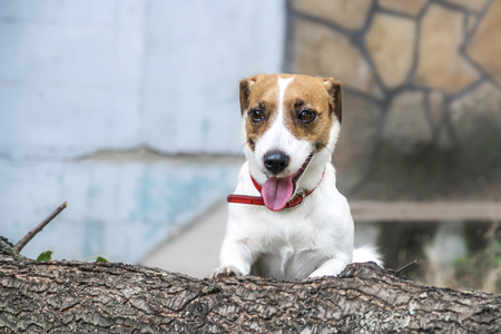 felled: A playful dog Jack Russell Terrier going to jump over the felled tree