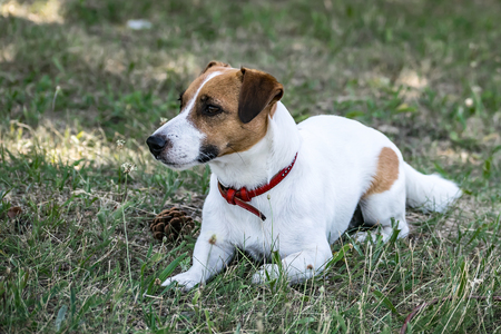 A white and red dog Jack Russell Terrier lying and resting on green grass outdore