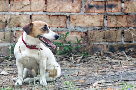 Old brick wall background and a dog Jack Russell Terrier sitting next to the a ruined abandoned house