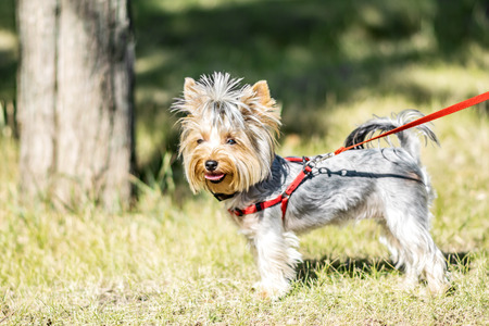 A small Yorkshire Terrier dog standing next to park tree at sunny summer day