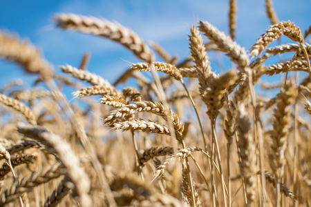 spica: Rye grass field. Ripe grain spikelets. Cover crop and a forage crop. Blue sky background. Agricultural concept Stock Photo