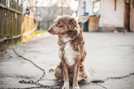 Portrait of cute chained brown or red dog sitting on old village yard with old house and fence. The dog is looking aside. Blurred background.