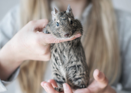 Young girl playing with small animal common degu squirrel. Close-up portrait of the cute pet in kids hands looking into camera Stock Photo