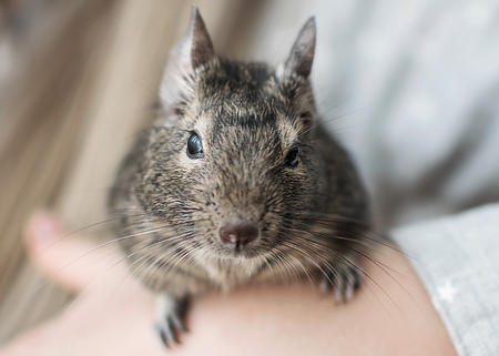 Young girl playing with small animal common degu squirrel. Close-up portrait of the cute pet sitting on kids hand and looking into camera.