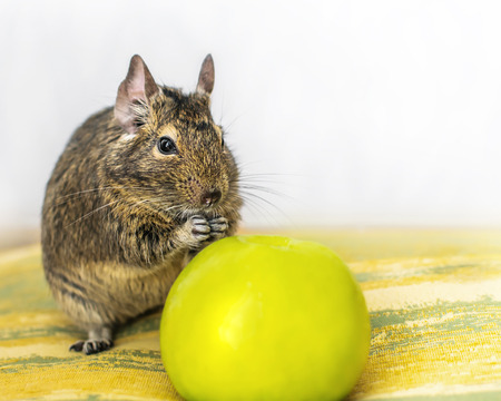 Close-up portrait of cute animal small pet chilean common degu squirrel sitting with big green apple. Concept of a healthy diet and vegetarianism.
