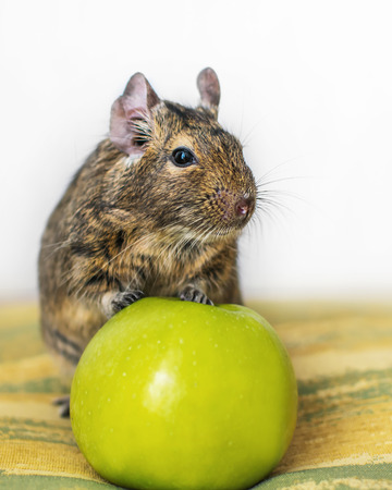 Close-up portrait of cute animal small pet chilean common degu squirrel sitting with big green apple. The concept of a healthy lifestyle, diet and vegetarianism. Stock Photo