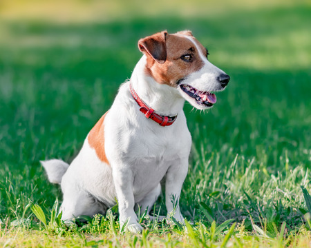 Close-up portrait in profile of cute small white and brown dog jack russel terrier sitting on green grass in park and looking at right site at summer sunny day