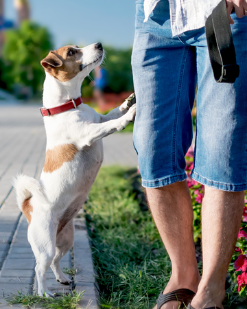 A small curious dog jack russell terrier looks or asks for something owner or person, standing on its hind legs outside at summer sunny day