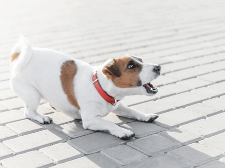 A small dog jack russell terrier in red collar running, jumping, playing and barking on gray sidewalk tile at sunny summer day
