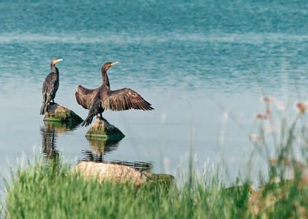 Two big black birds cormorants sit, spreading wings, on rocks on the water on a sunny summer day. Ukraine, Kakhovka Reservoir Beautiful Natural Background